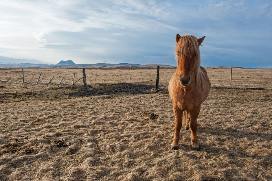 un cavallo nella brughiera di Hvolsövllur in Islanda.
